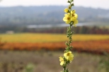 A yellow flower contrasts against the colourful vineyards at the Kingston Family Vineyards in the Chilean Casablanca Valley.